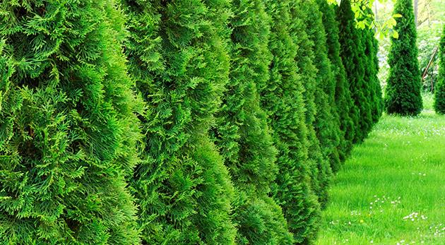 Fotka zľavy: Podeľte sa o vašu záhradu s nenáročnou okrasnou tujou smaragdovou len za 1,99 €. Radosť vám bude robiť svojím rastom až 50 cm za rok aj vždy veľmi hustým a tmavozeleným ihličím.